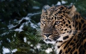 Picture look, snow, spruce, leopard