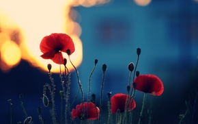 Picture summer, light, sunset, flowers, nature, stems, color, Maki, plants, the evening, petals, flowering