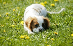 Picture greens, field, grass, eyes, face, flowers, wool, spot, puppy, color, dandelions, plays, Spaniel