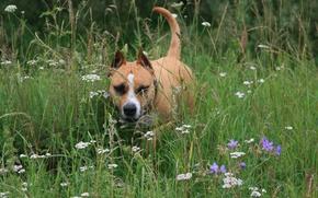 Wallpaper flowers, dog, stay, dogs, walk, mood, staffordshirskiy Terrier, summer