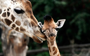 Wallpaper giraffe, cub, Giraffa camelopardalis