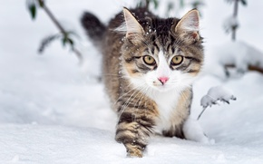 Picture winter, look, snow, nature, Cat, muzzle, fluffy