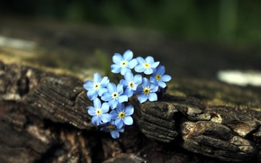Picture flowers, tree, blue, brown, forget-me-nots