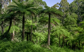 Picture forest, grass, trees, palm trees, jungle, Australia, Dandenongs