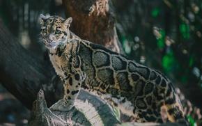 Picture pose, predator, spot, wild cat, clouded leopard