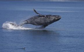Wallpaper water, the ocean, bird, Alaska, long-armed whale, Gorbach, humpback whale, Kaira
