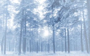 Picture winter, frost, forest, snow, trees, pine, clearance, frosty