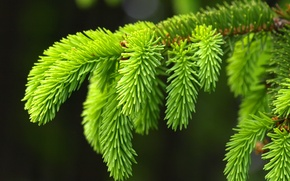 Wallpaper tree, macro, branch, spruce, beautiful, background
