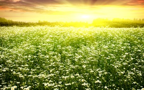 Picture field, the sun, chamomile, spring, flowering, field, dazzling, Spring camomiles
