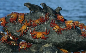 Picture water, shore, stone, crab, eguana