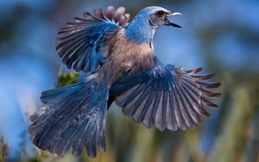 Picture bird, wings, feathers, tail, Jay, Shrubby blue Jay