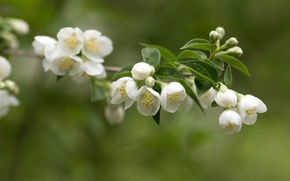 Picture leaves, branch, petals, stamens, Jasmine