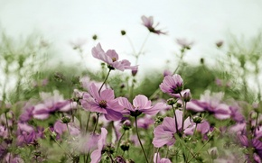 Picture flowers, pink, field, kosmeya