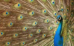 Picture eyes, feathers, tail, peacock, beautiful bird wallpapers, beautiful bird, luxurious plumage, digital art, Peacock