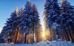 Picture tree, rays, light, snow, the sun, nature, winter, trees, forest