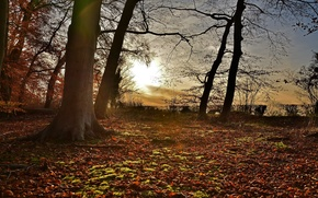 Picture forest, leaves, the sun, trees, sunset, sunshine, forest, trees, sunset, leaves