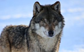 Picture winter, look, snow, wolf