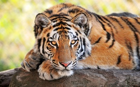 Picture tiger, wild cats, looks, young