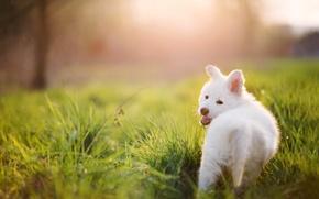Picture summer, grass, dog, Puppy, white