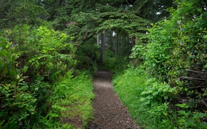 Picture greens, forest, trees, foliage, track, path