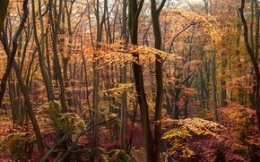 Picture autumn, forest, yellow leaves, crimson
