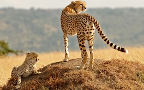 Picture grass, look, cats, family, hill, cub, kitty, cheetahs