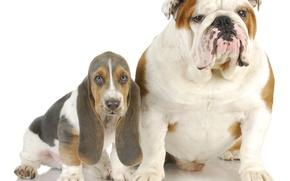 Picture Bassett, Dogs, English bulldog