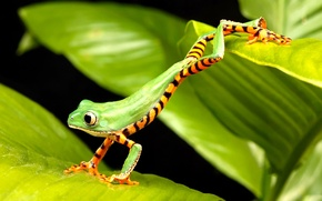 Picture frog, green, jumping