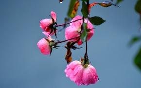 Picture water, drops, macro, flowers, Rosa, petals