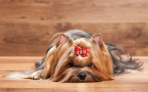 Picture bow, York, Dogs, Terrier, Yorkshire, terrier