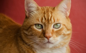 Picture cat, face, portrait, red, red background, handsome