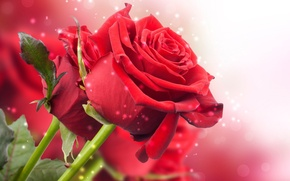 Picture stems, roses, bouquet, petals, red