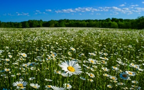 Picture summer, nature, chamomile, meadow