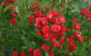 Picture flowers, red, roses, green, small