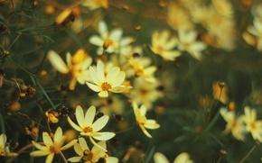 Picture flowers, yellow, blur, kosmeya
