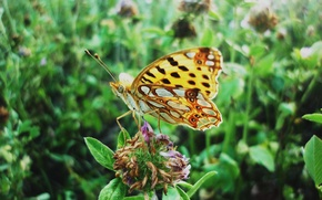 Picture summer, nature, Butterfly