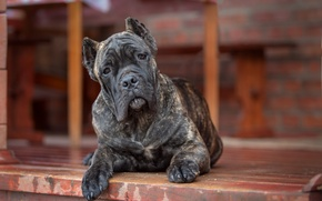 Picture look, dog, Cane Corso