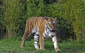 Picture cat, grass, tiger, the bushes, Amur