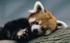 Picture tree, stay, firefox, Red Panda