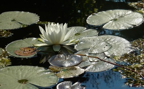 Picture flower, grass, flowers, pond, Park, widescreen, Wallpaper, wallpaper, widescreen, background, the Wallpapers, water Lily, full …