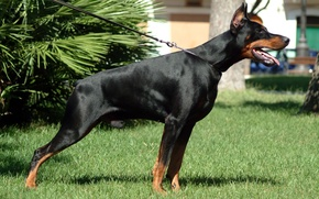 Wallpaper dog, Doberman, dobermann