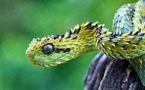 Picture photo, snake, predator, jungle, wildlife, wood adder