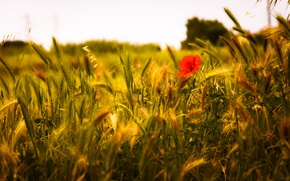 Picture poppy, wheat, wheat field