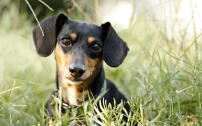 Picture look, dog, Dachshund