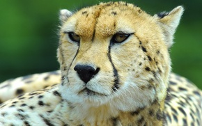 Picture mustache, look, face, Cheetah, hunting leopard