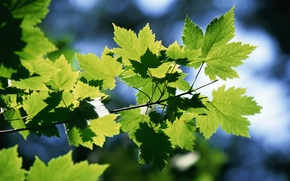 Wallpaper summer, branch, green, leaves, maple