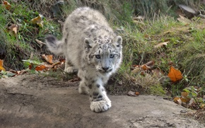 Picture cat, look, IRBIS, snow leopard, cub, kitty