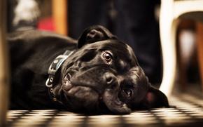 Wallpaper dog, face, looks