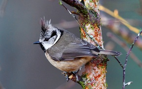 Picture bird, branch, titmouse, crested