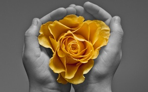 Picture flower, background, hands